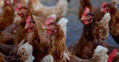 Schutz der Nutztiere im Mittelpunkt – Glauber: Erster Fall von Geflügelpest in Bayern