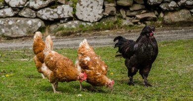 Geflügelpest  –  weitere Sicherheitsmaßnahmen angeordnet