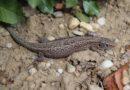 Das Reptil des Jahres, die Zauneidechse, verabschiedet sich in die Winterruhe
